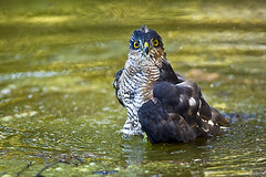Bath Time (Waylander Images) Tags: uk england bird nature nikon britain wildlife explore raptor sparrowhawk thelodge rspb accipiternisus europeansparrowhawk d700 waylanderimages