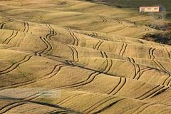 Val d'Orcia #2 (2013) (Michele Berti) Tags: field wheat tracks campo grano agricoltura agricolture campodigrano