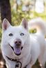 Salt (Gertrude139) Tags: dog white bush husky fluffy siberianhusky sibe bieyed