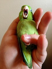 Wild Eep yawns (Julian Rossi) Tags: pet bird birds parrot animalplanet iphone parrotlet pacificparrotlet forpuscoelestis uploaded:by=flickrmobile flickriosapp:filter=nofilter