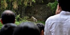 crowd magnet (ABHIJEET RAMESH JAGTAP) Tags: park wallpaper india white macro mammal zoo nikon tiger gandhi di albino maharashtra wallpapers tamron mammals tigris ld rajiv 70300 panthera zoological wagh katraj d5200 blinkagain