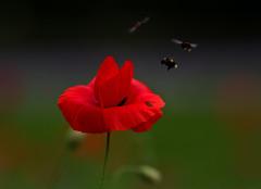 Poppy (xx lolly xx) Tags: edinburgh bees wildflowers wildlifeconservation xxlollyxx urbanpollinatorproject drumbraedrive
