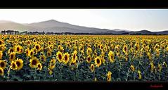 "Girasoli nella terra di ""Canapone"" - Sunflowers in the land of ""Canapone"" (Explore Sep 10, 2013) (Jambo Jambo) Tags: italy panorama landscape italia sunflowers tuscany toscana grosseto girasoli maremma castiglionedellapescaia badiola canapone nikonflickraward nikond5000 jambojambo mygearandme mygearandmepremium mygearandmebronze mygearandmesilver mygearandmegold mygearandmeplatinum mygearandmediamond pontidibadia leopoldoiidilorena"