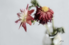 Beauty Fading (Jack ReddLeggs) Tags: flowers dying wilting muted