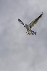 The rain stopped, now it's time to eat! (lennycarl08) Tags: bird birds hawk raptor eastbay hercules baytrail audubon pinole bayfrontpark whitetailedkite pinoleshores ebparksok