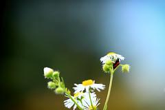 IMG_3210 (J a y a ® u 1) Tags: flower macro nature canon bug eos rebel pennsylvania ladybug ef kutztown 500d t1i kissx3digital 70300mmf4056lisusm