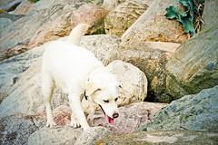 Qanik (Appaz Photography☯) Tags: animals denmark dog dogs hunde jylland mammals marselisborg marselisborghavn qanik pattedyr animal qanikthedog labradorsamojedblanding hund mammal pet familievenlighund aarhus