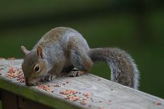IMG_9401.jpg (Scott Alan McClurg) Tags: life wild cute rodent backyard squirrel wildlife seed feeder neighborhood deck eat railing munch