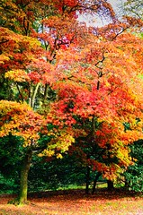 DSC_0842 (Julian R Rouse) Tags: november autumn red colour tree arboretum westonbirt autumnal 2013 nikond7000 julianrouse