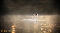 The Magic of Swan Lake (awhyu) Tags: swanlake dunhammassey andrewyuphotography