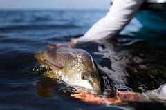 Redfish release (ctm_luke) Tags: fish water skinny fly fishing florida salt culture flats everglades flies trout redfish tarpon snook flyfish 239flies