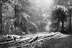 Trunks in snow (Nekr0n) Tags: leica schnee trees winter blackandwhite bw mist snow nature monochrome digital forest germany deutschland blackwhite nebel x trunk 24 28 24mm freiburg schwarzweiss wald schwarzwald blackforest asph f28 x1 compactcamera xseries elmarit primelens imbreisgau leicax1gallery