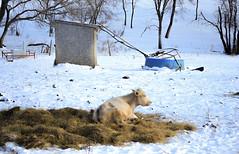 Blue winter scene in Saskatchewan (paulette@k) Tags: winter snow canada cold nature weather rural cattle natural farming saskatchewan