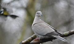 Collard Dove in the rain!!