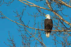 Bald Eagle Sat in a Maple Tree (Wizard of Wonders) Tags: brown canada male bird nature vancouver spread wings branch bc wildlife tail baldeagle beak feathers bluesky raptor whitehead boundarybay sat claws haliaeetusleucocephalus yelloweyes largesize mudbay yellowbeak