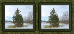 Horse Pasture Pine Shelter Cross-eye 3D (DarkOnus) Tags: winter horse tree pine lumix stereogram 3d crosseye pennsylvania pasture stereography buckscounty crossview dmcfz35