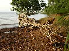 Kep (mrcharly) Tags: sea tree water seaside asia cambodia kep root cambodja kampuchea