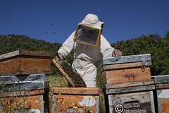 BeekeeperAtWork. (AntonioArcos aka fotonstudio) Tags: nature ecology spain bees traditions lifestyle sustainability hives beekeeping apiculture
