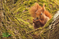 Red Squirrel (Undertable) Tags: bridge tree nature closeup canon tiere squirrel natur baum tier eichhrnchen redsquirrel undertable assamstadt roteseichhrnchen oliverbauer mygearandme mygearandmepremium sx50hs infinitexposure