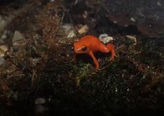 Mantella złocista (nesihonsu) Tags: zoo frog madagascar terrarium wroclaw wrocław anura goldenmantella płaz mantellaaurantiaca wroclawzoo mantellazłocista