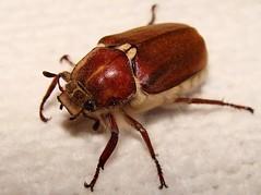 Scarabeo - Scarab (Felix_65) Tags: macro sony cybershot scarab insetti scarabeo dsch3