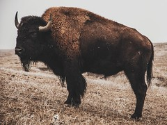 bison says buy son (Tanner Wendell Stewart) Tags: buffalo nw american 365 bison americanbison 365days 365project todaymightbe 3652013 shoottheskies tannerwendellstewart tannerwendell shoottheskies2013
