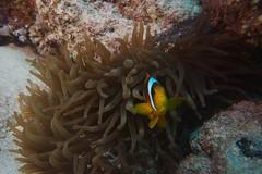 (Mercury dog) Tags: redsea egypt stjohns diving furyshoals