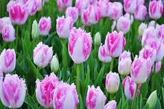 Pink White Tulip (NATIONAL SUGRAPHIC) Tags: flowers nature spring tulips parks istanbul iekler saryer emirgan doa ilkbahar laleler parklar emirganpark sugraphic