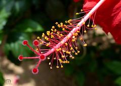 Cayena (Domingo Fuenmayor) Tags: leica naturaleza flower macro nature garden lumix rojo juan flor jardin colores hibiscus polen miniatura cayena naturesfinest androceo fz200 panasonicfz200 lumixfz200 lumixdmcfz200