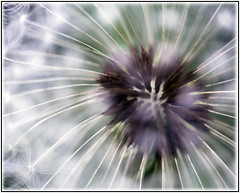 Dandelion 4 (Photo jenick) Tags: flower macro dandelion seeds wish makeawish canon6d fenspool