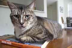 Hunter (DFChurch) Tags: pet nature animal cat feline hunter