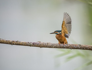 A Kingfisher Waved At Me !!