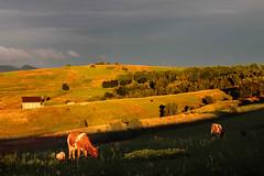Sunset Grazing (Pavlo Kuzyk) Tags: nature canon landscape cow cattle ukraine carpathians karpaty carpathianmountains