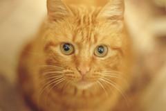 "Named ""Phoenix"" (mikhailkorzhalov) Tags: cat cats animals animal canon takumar manual manualfocus catsportrait animalportrait redheaded pets 50mm 5014 vintagelenses manuallenses"