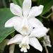 Cattleya loddigesii var. coerulea