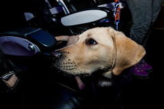 Guide Dogs for the Blind 6 (NickRoseSN) Tags: guidedogsfortheblind guidedogs dogs virginamerica alaskaairlines airline burlingame sanmateocounty sanmateo sanfrancisco sf sfo sfoairport sanfranciscoairport sanfranciscointernationalairport sfbayarea bayarea california ca