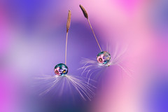 Like cherries (Marilena Fattore) Tags: flora softflower macro tamron canon 90mm colors water drops droplet nature closeup floralart reflection bokeh dandelion tarassaco garden flower daisy purple pastel pink blue lightblue