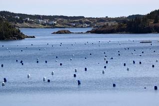 Mussel Farm on Trinity Bay near Dunfield, Newfoundland