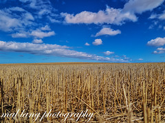 barley stubble an blue skys summer 2017 (Malcom Lang) Tags: farm farming rural harvest harvestingstubble grain vista summer stalks straw sky cloud clouds eyrepeninsula eyre lowereyrepenninsula southaustralia southern south southernaustralia southerneyrepeninsula australia australian aussie outside outdoor outdoors 2017 blue white