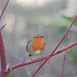 """Bird on a branch<a href=""""http://www.flickr.com/photos/28211982@N07/33448318676/"""" target=""""_blank"""">View on Flickr</a>"""