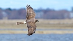 northern harrier (adult female) (quadceratops) Tags: massachusetts nature plum island parker river national wildlife refuge prnwr emhw eastern mass hawk watch hawkwatch northern harrier migration