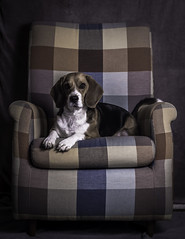 #3 - Duna Armchair Short series [Explored 20/05/13] (Sekano) Tags: portrait color colour beagle canon eos flickr retrato perro duna texturas gorka 600d aparicio strobist sekano