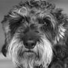 Carla (Sune Skovgaard) Tags: portrait bw dog white black square fur dachshund wirehaired carla hund format gravhund
