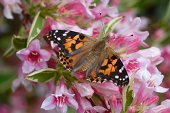 Painted Lady (Sharpie314) Tags: pink vanessa orange flower green lady butterfly garden insect wings painted antenna