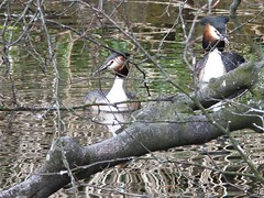 Going courting (lady.bracknell) Tags: bird birds liverpool waterfowl seftonpark wildfowl greatcrestedgrebes