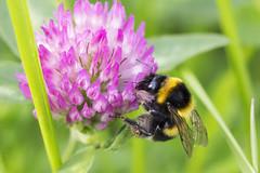 Bumblebee (Sascha Bentz) Tags: pink plant black flower macro green nature yellow canon eos natur pflanze rosa bumblebee gelb pollen blume makro schwarz hummel 60d