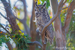 Great Horned Owl keeping watch on the young one - IMG_6599 (arvind agrawal) Tags: