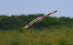 Short-eared owl. (Norton ( Natural Imaging )) Tags: birds wildlife owls shortearedowl nikonafsnikkor300mmf4difed jerseyci2013