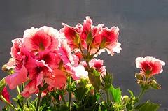 Geranio 5 (Aldo433) Tags: flowers italy italia natura erba fiori piante abruzzo geranio ortona