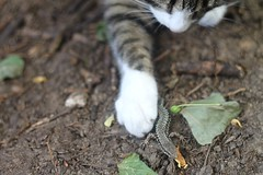 Look What I Found! (Aim Soshick) Tags: cats nature animal animals cat paw lizard